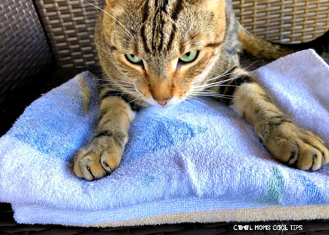 how to give a cat a bath tips plus free printable